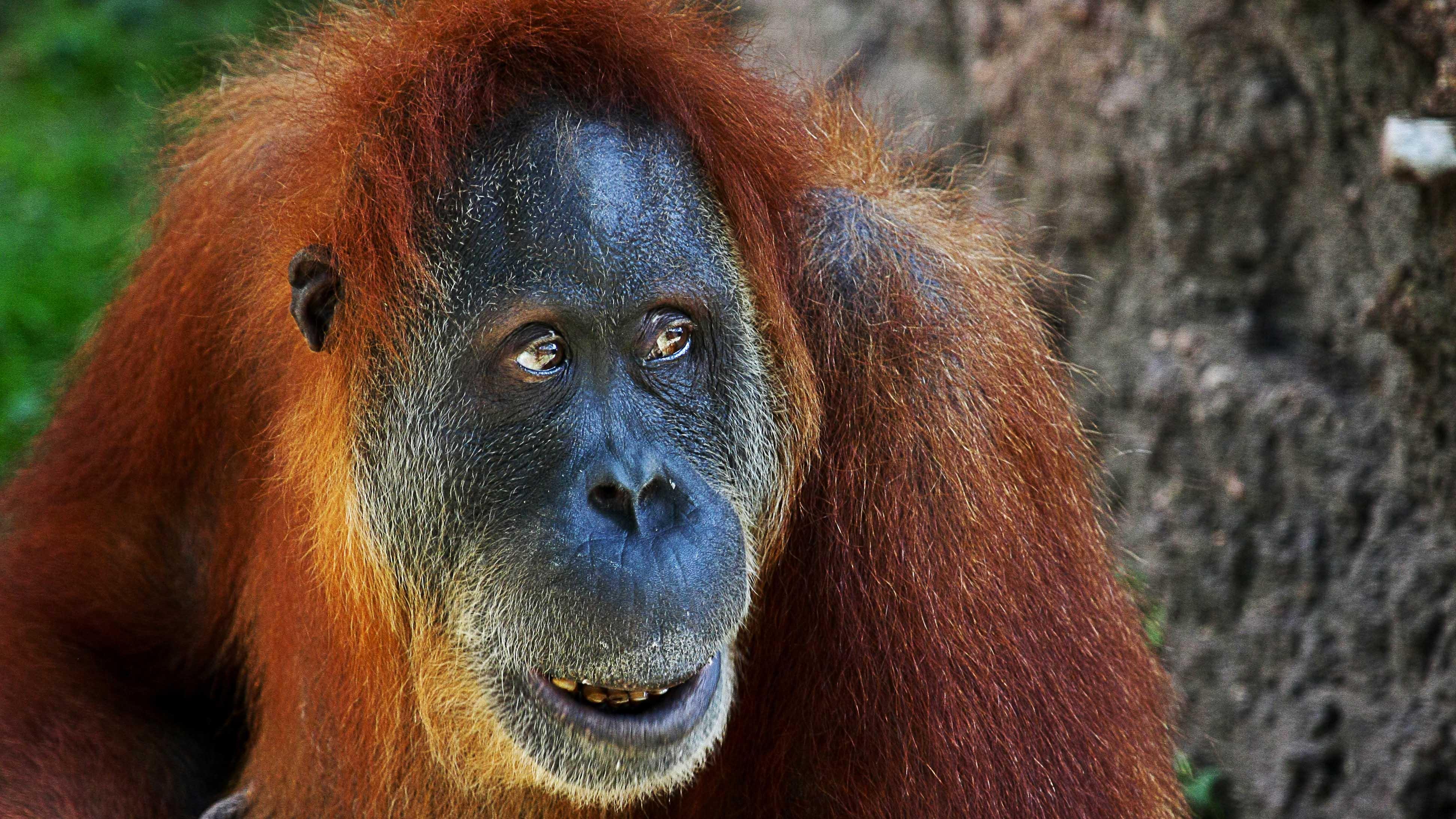 Orangutan-human hentai adult pic