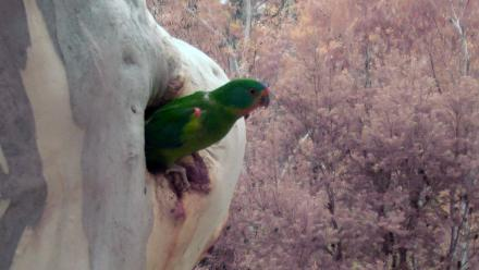 A female Swift Parrot.