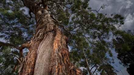 Reconciliation action plan  - Bark of an Indigenous tree