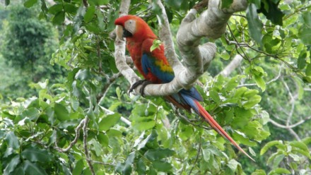 Picture of a macaw in a tree