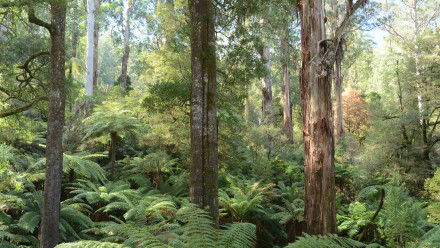 Trees ferns in Victoria's Ash Forest
