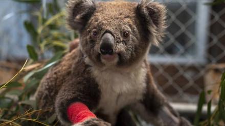 injured koala