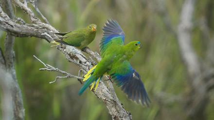 Orange-bellied parrots. Image: Mark Holdsworth