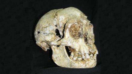Photo of Homo floresiensis skull