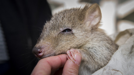 Bettong held by an outreach officer