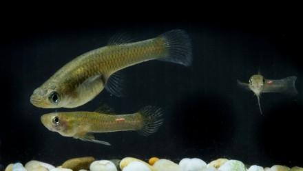 Mosquitofish, Gambusia holbrooki. Image: Stuart Hay, ANU.