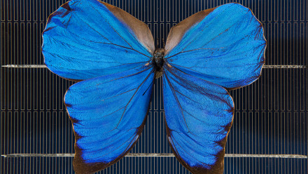 A blue Morpho butterfly on a solar cell