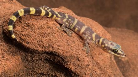 The ancient gecko Oedura luritja had been hiding in plain sight