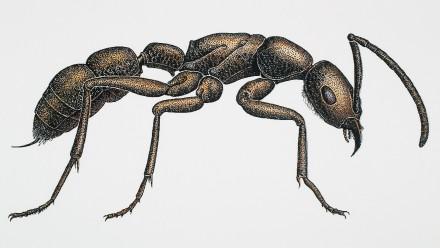 Ladina Ribi's drawing of a bullant.