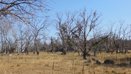 Dieback in a grazed area. Photo by Catherine Ross.