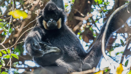 Male yellow-cheeked crested gibbon. Veun Sai-Siem Pang National Park, Cambodia. Image Peter Williams