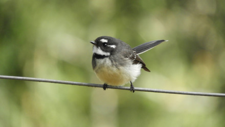 The grey fantail, a species likely to benefit from land management actions like planting trees. Image: Rochelle Steven.