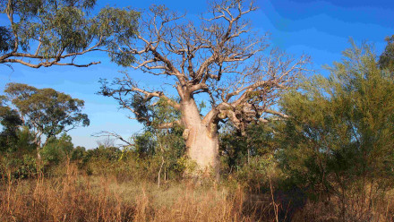 One of the iconic boab trees with a carving in the Kimberley, WA. Credit: Jane Balme