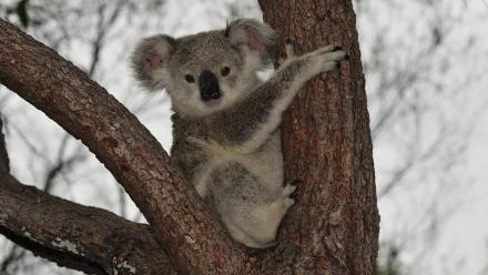 Koala. Image by Christopher Charles on flickr.