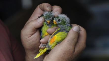 holding two orange bellied parrots