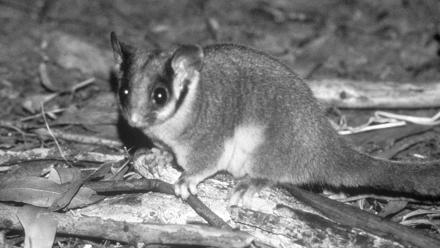 Leadbeater's Possum is dependent on large, old trees that produce hollows for its survival. David Lindemayer .