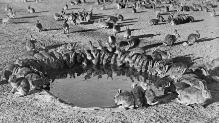 Rabbits around a waterhole in the myxomatosis trial site on Wardang Island in 1938.