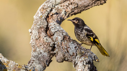 Image of a Regent Honeyeater bird on a branch