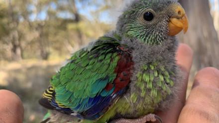 Swift parrot nesting. Credit: The Australian National University