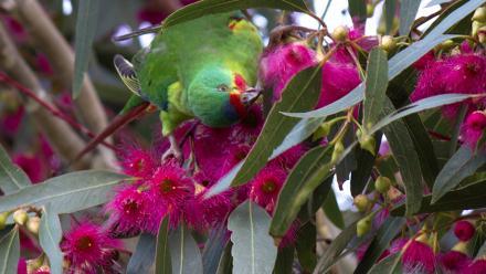 Swift Parrot. Image by Lizardstomp on flickr.