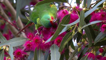 Swift Parrot. Image by Lizardstomp on flickr.
