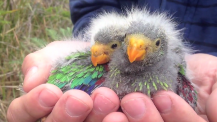 Swift parrot chicks. Image: Difficult Bird Research Group