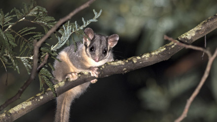 Leadbeater's possum. Image credit: Tim Bawden, ANU