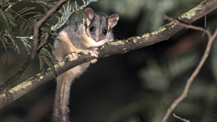 The numbers of Leadbeater's Possum (pictured) and other arboreal marsupial species dependent on the big old trees in Victoria's Mountain Ash forest have dropped by 50 to 65 per cent during the past 20 years. Credit: Tim Bawden, ANU.