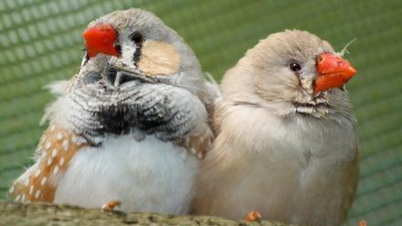 Two Zebra Finches huddle close together as they keep watch.