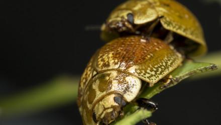 Mating Paropsisterna variicollis. Image: Damien Esquerre, ANU