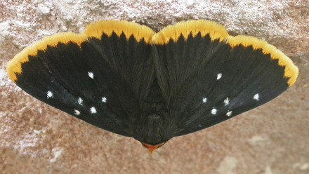 Galaxy day-moth.As yet, undescribed. Image: Michael Braby
