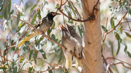 Adult regent honeyeater feeding two recently-fledged juveniles ©Mick Roderick