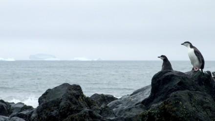 Antarctic penguins watch the ocean. Image: Ceridwen Fraser.