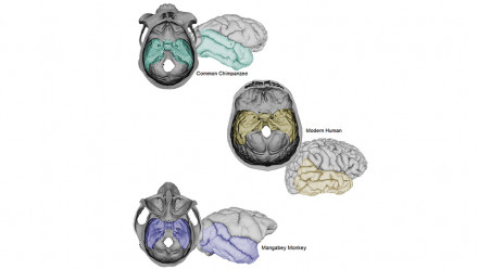 Three primate brains showing the Middle Cranial Fossa and temporal lobe. Image ANU