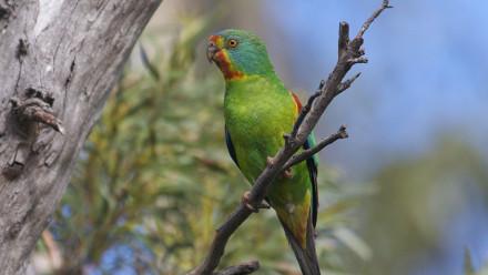 Female Swift Parrot. Image: Dejan Stojanovic, ANU