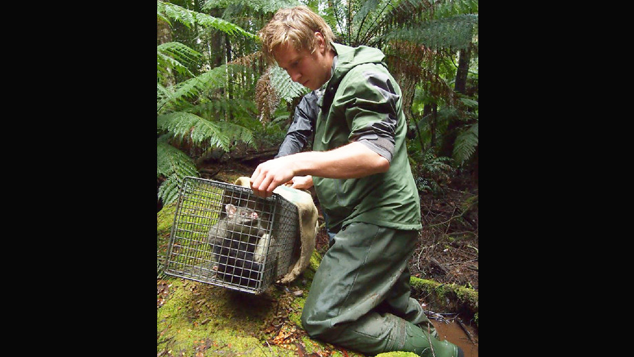 Releasing a Mountain Brushtail Possum during wildlife surveying