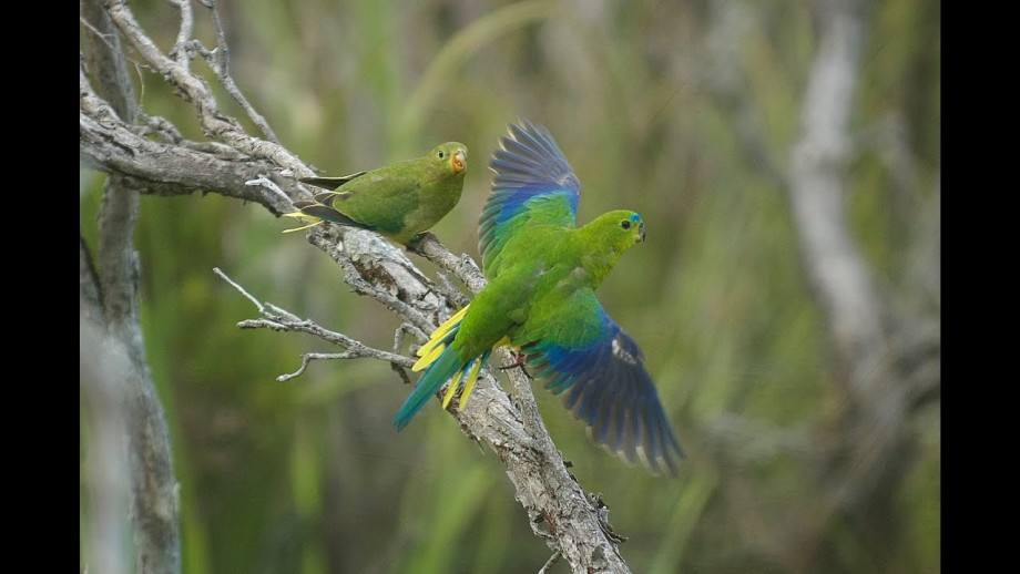 Operation Orange-bellied parrot