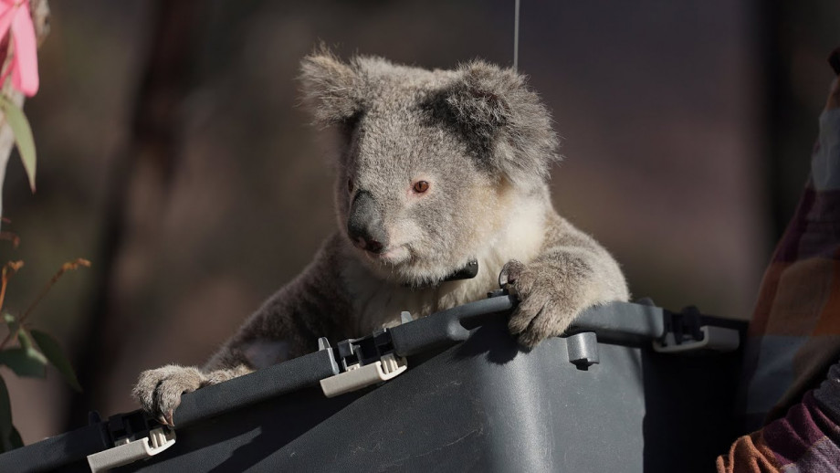 Rescued koalas return to the bush