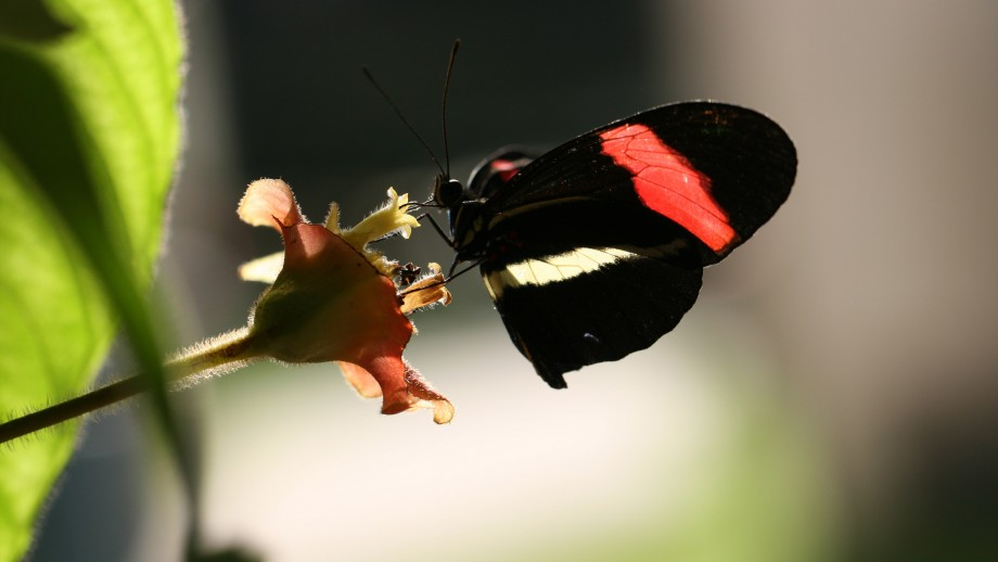 Heliconius butterfly in Panama. Image: Nature - Chris Jiggins.