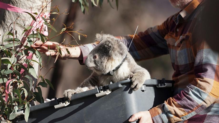 A koala is reintroduced to bush near the Two Thumbs Wildlife Sanctuary. Photo: James Walsh/ANU