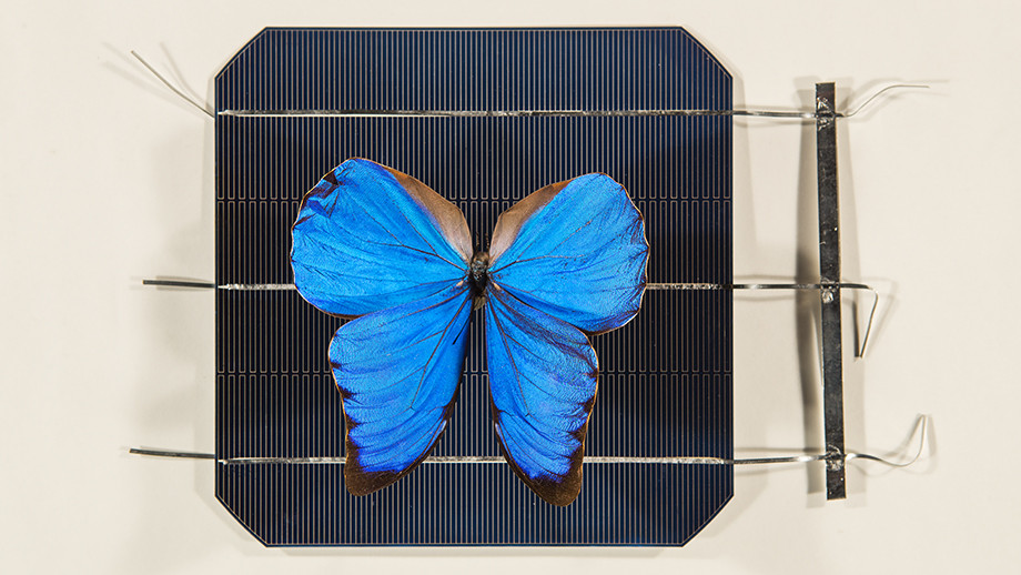 A blue Morpho butterfly on top of a solar cell