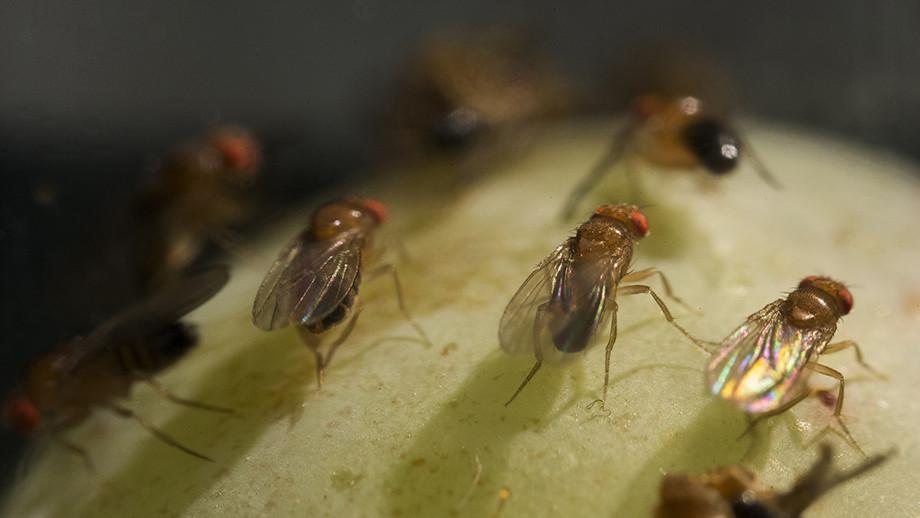 Fruit flies feasting on grapes. Image: Stuart Hay, ANU