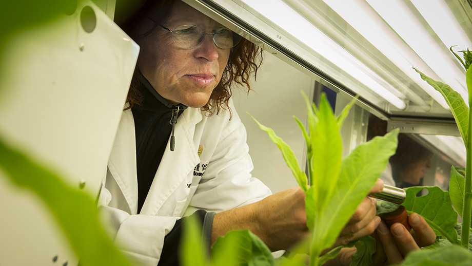 Dr Britta Forster with tobacco plants in the laboratory. Image: Stuart Hay, ANU