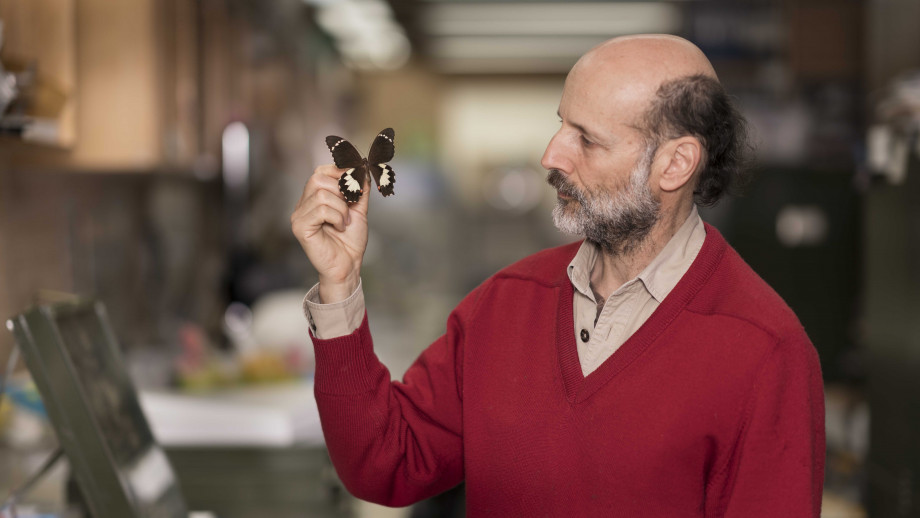 Associate Professor Michael Braby inspects a butterfly at the CSIRO entomology laboratory.
