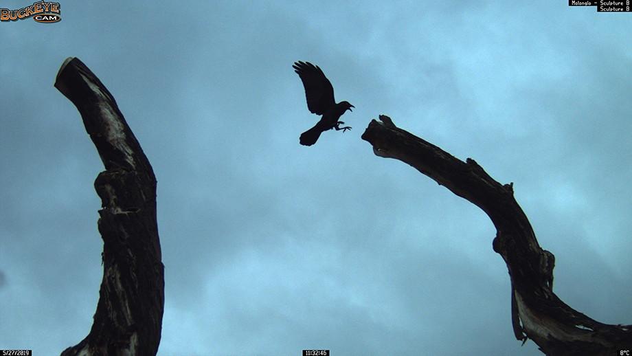 Australian Raven. Image: Molonglo Life