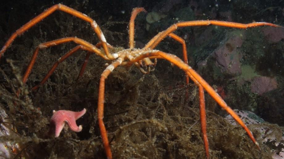 Sea Spider. Image: British Antarctic Survey