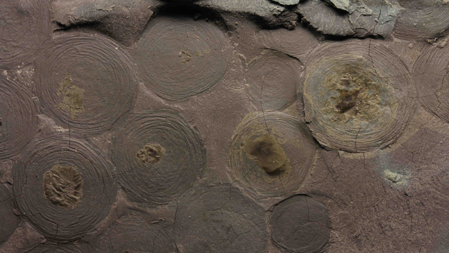 One of the Ediacara biota fossils, Beltanelliformis (pictured), was not an animal, but rather a colony of photosynthetic bacteria. Image credit: Ilya Bobrovskiy, ANU