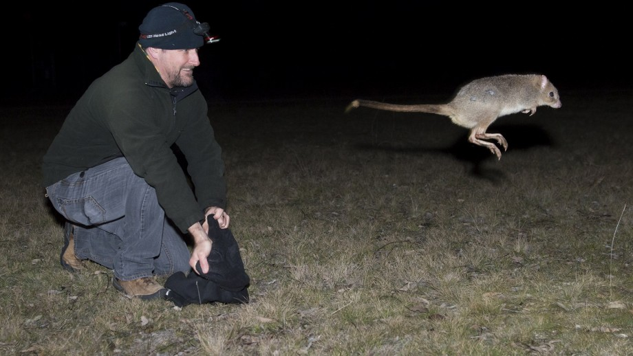 Associate Professor Adrian Manning releases a Bettong at Mulligans Flat Woodland Sanctuary. Photo by Peter Mills.
