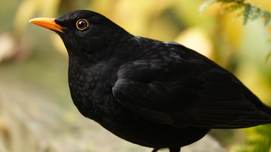 The blackbird (Turdus merula). Photo by Jim McLean.