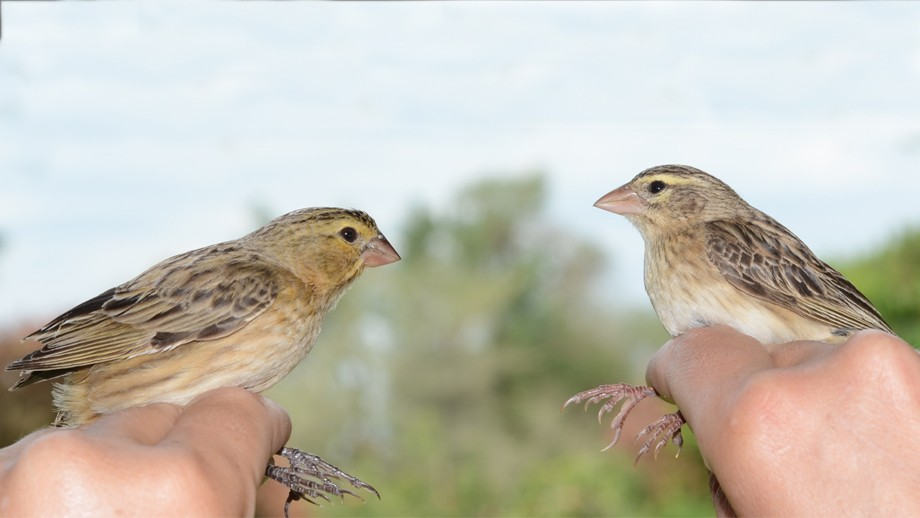 Female cuckoo finch (l) and a female bishop (r). Image: Claire Spottiswood